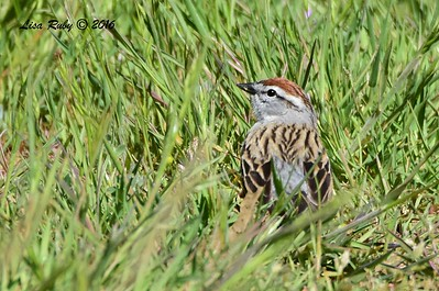 Chipping Sparrow - 4/29/2016 - Stonewall Mine trails