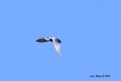Purple Martin - 4/29/2016 - Lake Cuyamaca