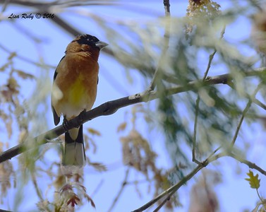 Black-headed Grosbeak - 4/29/2016 - Mt. Laguna Visitor's Center