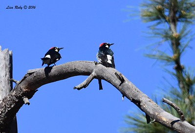 Acorn Woodpeckers - 4/29/2016 - Stonewall Mine trails