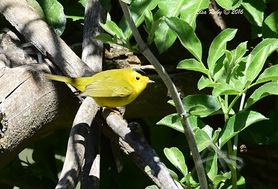 Wilson's Warbler - 4/29/2016 - Stonewall Mine Trails