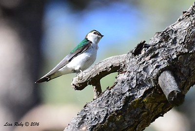 Violet-green Swallow- 4/29/2016 - Stonewall Mine trails