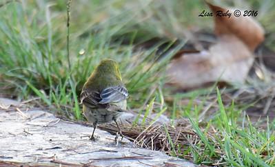 Pine Warbler - 11/13/2016 - Nestor Park