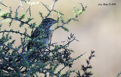 Large-billed Savannah Sparrow - 11/13/2016 - Tijuana River Valley Estuary