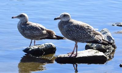 California Gull and ? Gull (Western? Herring?) - 2/5/2016 - Lower Otay Lake