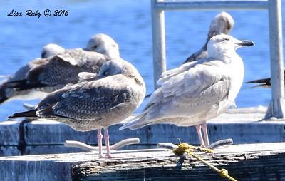 ? Glaucous-winged Gull? - 2/6/2016 - Lower Otay Lake, Chula Vista