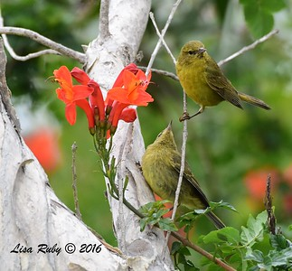 Orange-crowned Warblers - juvenile begging - 05/19/2016 - Point Loma Nazarene University