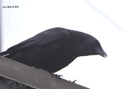 American Crow - 5/19/2016 - Point Loma Nazarene University