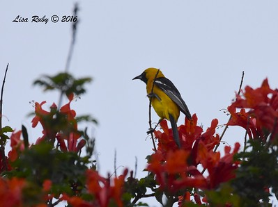 Hooded Oriole  - 05/19/2016 - Point Loma Nazarene University