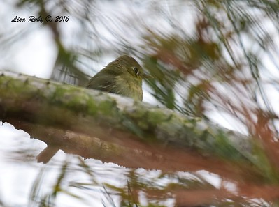 Pacific-slope Flycatcher - 05/19/2016 - Point Loma Nazarene University