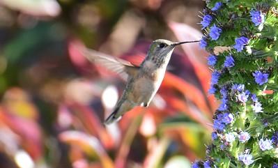 Female Calliope Hummingbird - 4/24/2018 - Point Loma Nazarene University