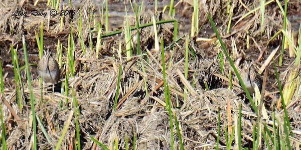 Two Wilson's Snipe (one left side, one right side) - 11/25/2016 - Poway Creek
