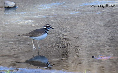 Killdeer  - 11/25/2016 - Poway Creek