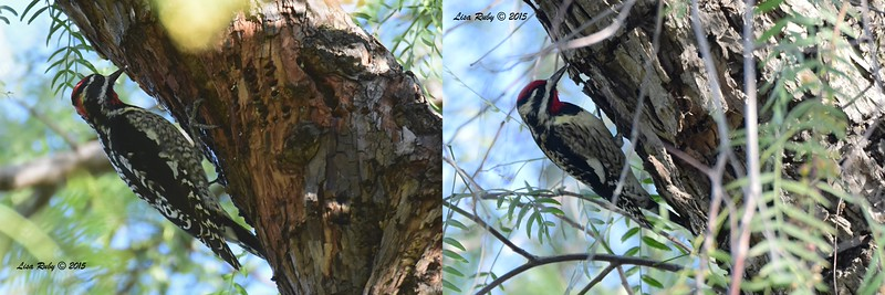 Stiched together photos of the Red-naped (left) and Yellow-bellied (right) Sapsuckers