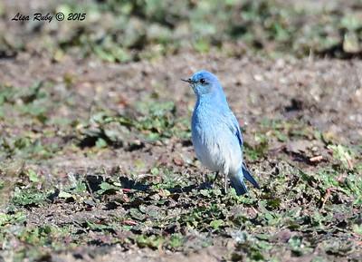 Mountain Bluebird - 1/8/2016 - Rangeland Road