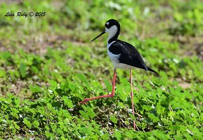 Black-necked Stilt - 1/8/2016 - Lindo Lakes