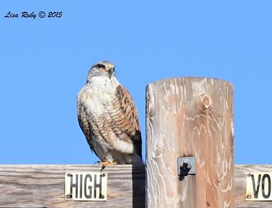Ferruginous Hawk - 1/8/2016 - Rangeland Road