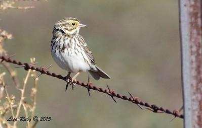 Savannah Sparrow - 1/8/2016 - Rangeland Road