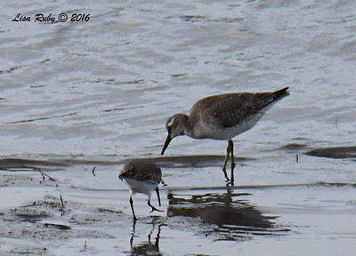 Red Knot - 10/4/2016 - Robb Field