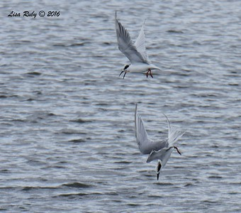 Forster's Terns having a spat  - 10/4/2016 - Robb Field