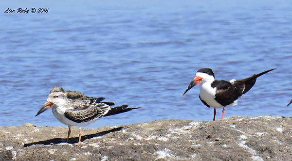 Black Skimmers - 10/1/2016 - Salt Works