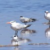 Elegant, Royal, Forster's Terns and possibly one Common Tern - 10/1/2016 - Salt Works