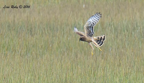 Northern Harrier - 10/28/2016 - San Diego River Estuary