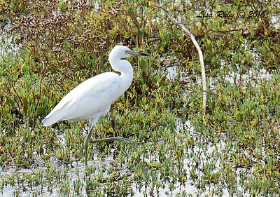 Juvenile Little Blue Heron - 10/28/2016 - San Diego River Estuary
