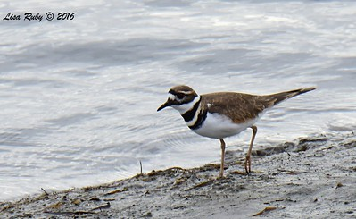 Killdeer  - 10/28/2016 - San Diego River Estuary