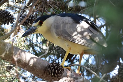 Black-crowned Night Heron - 7/10/2016 - not far from Del Mar Public Works