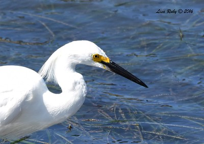 Snowy Egret - 7/10/2016 - San Dieguito Lagoon area, boardwalk