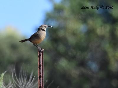 California Thrasher - 2/14/2016 - San Elijo Lagoon, Stonebridge Trail