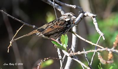 Song Sparrow -- 2/14/2016 - San Elijo Lagoon Visitor Center Trail