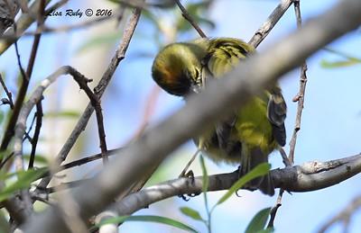 Orange-crowned Warbler - 2/14/2016 - San Elijo Lagoon Visitor Center Trail