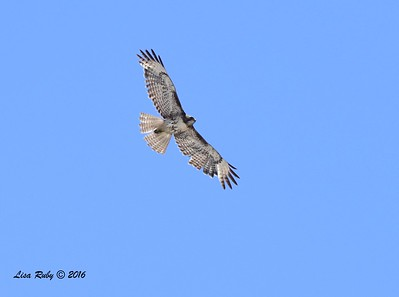 Juvenile Red-tailed Hawk  - 5/22/2016 - Sorrento Valley PQ Creek area