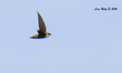 Really awful photo of Vaux's Swift  - 9/4/2016 - Sweetwater Reservoir