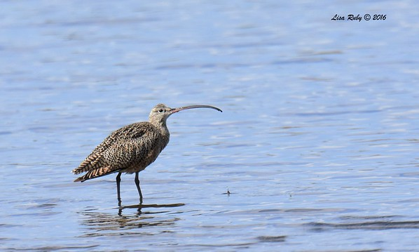 Long-billed Curlew  - 9/4/2016 - Sweetwater Reservoir