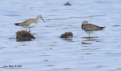 Lesser Yellowlegs (left), not sure about the right bird, but probably another Lesser Yellowlegs  - 9/4/2016 - Sweetwater Reservoir