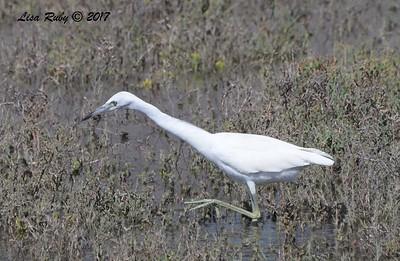 Juvenile Little Blue Heron - 10/10/2017 - Famosa Slough north