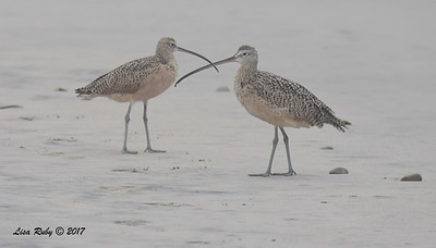 Long-billed Curlews - 8/27/2017 - Imperial Beach, walk to river mouth