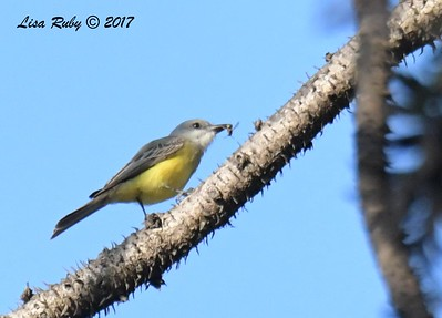 Tropical Kingbird - 12/16/2017 - Balboa Park