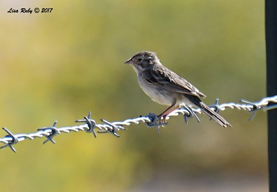 Brewer's Sparrow - 9/17/2017 - Borrego Springs Water Treatment Settling Ponds