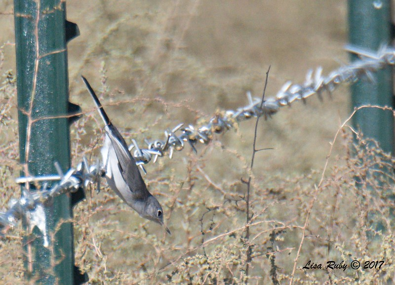Blue-gray Gnatcatcher - 9/17/2017 - Borrego Springs Water Treatment Settling Ponds