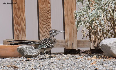 Greater Roadrunner  - 9/17/2017 - Borrego Springs Roadrunner Club