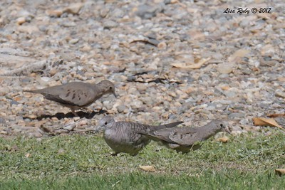 Inca Dove and Common Ground Doves  - 9/17/2017 - Borrego Springs Roadrunner Club