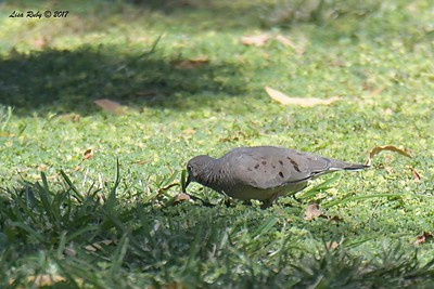 Common Ground Dove - 9/17/2017 - Borrego Springs Roadrunner Club