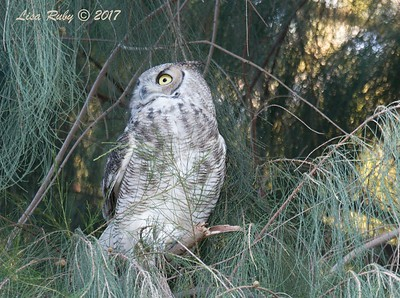 Great-horned Owl - 9/16/2017 - Roadrunner Club Borrego Springs