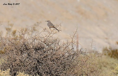 LeConte's Thrasher - 9/17/2017 - Borrego Springs Water Treatment Settling Ponds