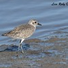 Black-bellied Plover - 12/14/2017 - Mud flats nex t to Loew's Resort Coronado