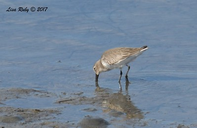 Dunlin - 12/14/2017 - Mud flats nex t to Loew's Resort Coronado